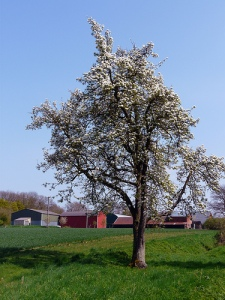 plum tree by tz1__1zt @ flickr.com