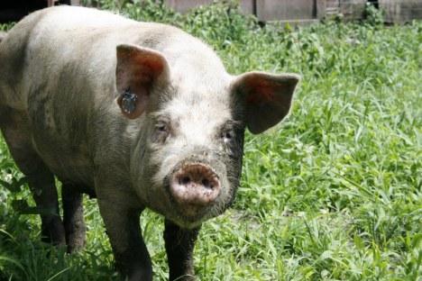 northwind pig